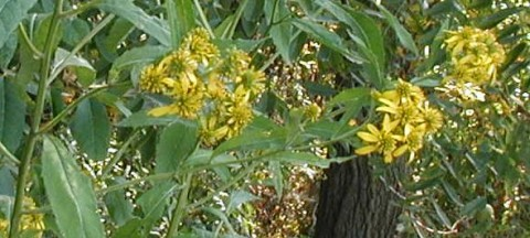 Wingstem yellow bouquets.