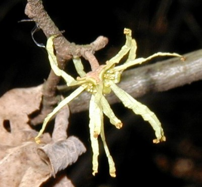 Witch Hazel flowers.
