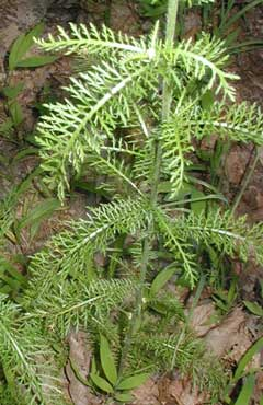Narrow leaves with many divisions help to identify yarrow.
