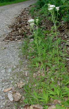 A couple yarrow plants alongside the lane.