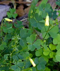 Wood-sorrel flowers close up in the afternoon shade or at nighttime and re-open in the sunshine.