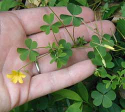 Yellow wood sorrel, Oxalis europaea, flowers arise in clusters on flower stalks that are separate from the notched, clover-like leaflets.