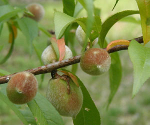 Fuzzy young peaches in the backyard.