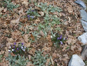 Three sets of crocus flowers in purple and white in the AM.