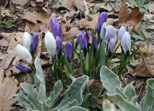 Side view of crocus flowers in purple and white. Photo taken at 7:15 a.m., 21 March 2010.