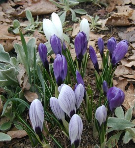 Early morning view of crocus flowers in purple and white. Photo taken at 7:15 a.m., 21 March 2010.