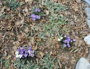 Three sets of crocus flowers in purple and white. Photo taken at 11 a.m., 21 March 2010.