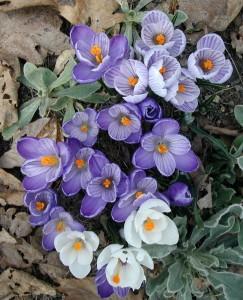 Late morning view of crocus flowers in purple and white. Photo taken at 11 a.m., 21 March 2010.