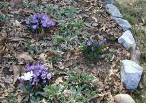 Crocus flowers more abundant this year