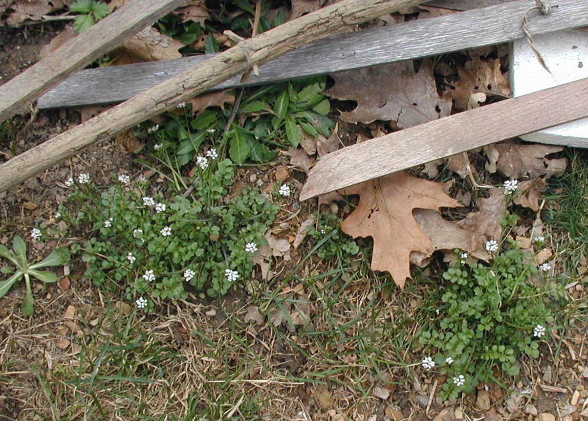 First Blooming Yard Weed Pennsylvania Bittercress Wildeherb