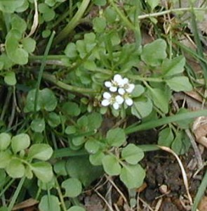 Pennsylvania bittercress flower cluster and compound leaf