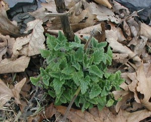 Re-growth of catnip leaves. Notice large stem from last year's growth.