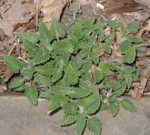 Distinctive scallop-edged leaves of catnip.