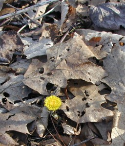 Single coltsfoot flower on the forest floor near the lane.
