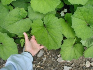 Coltsfoot leaves grow in a horseshoe shape.