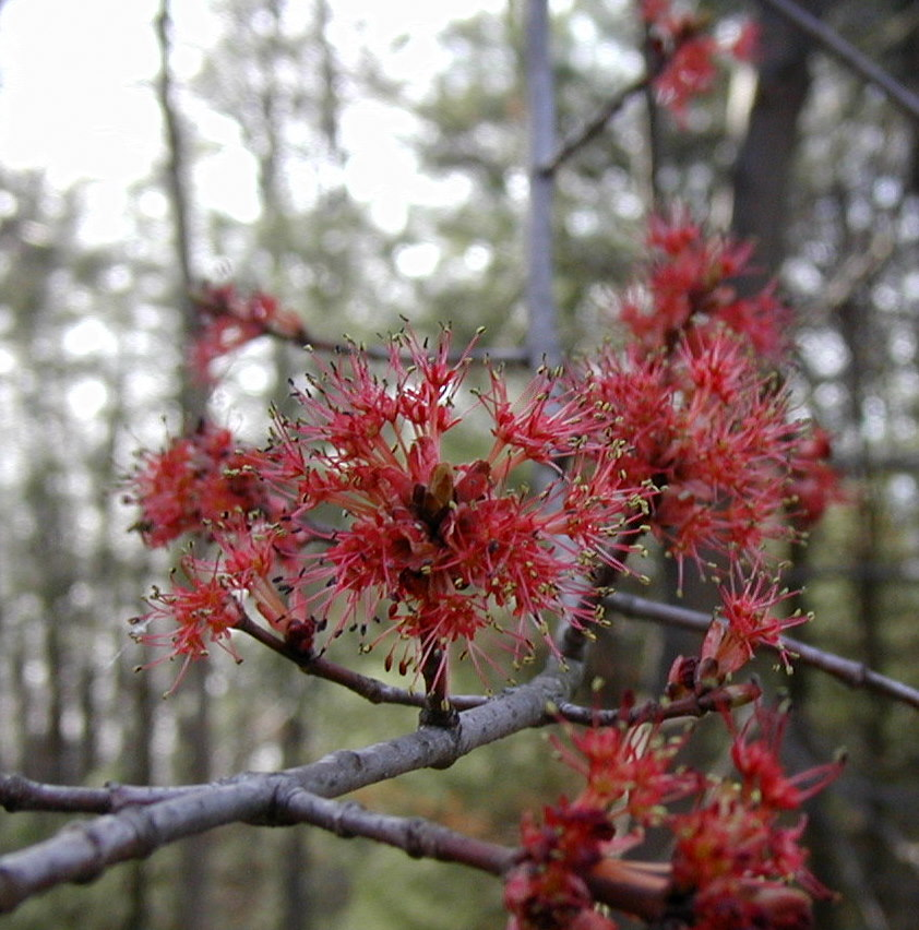 Red Flowers Of The Maple Tree