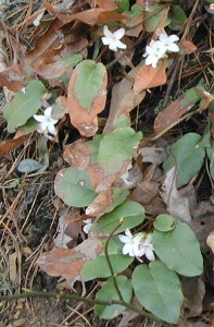 Green and brown leaves of trailing arbutus.