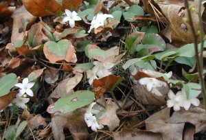 Flowers and leaves of trailing arbutus.