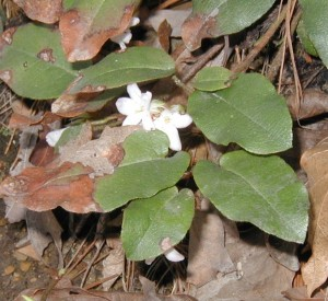 Trailing arbutus flowers come out from under their leaves.