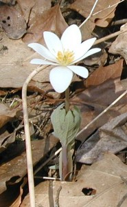Bloodroot flower opening.