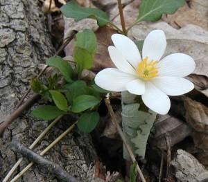Bloodroot petal closeup.