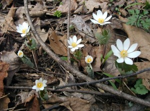 Group of bloodroot flowers.