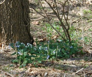 Virginia bluebells blooming next to the river.