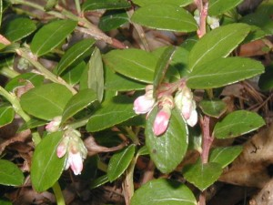 Flower buds of the box huckleberry.