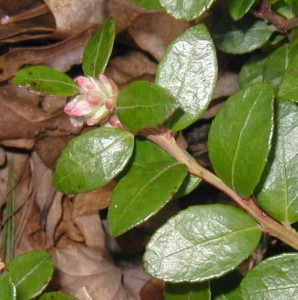 Close-up image of box huckleberry flower buds.