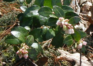 Box huckleberry blooms getting ready to open.