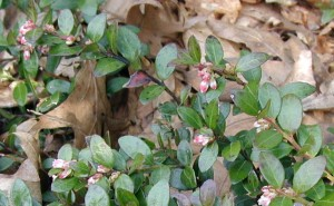 Pink flower buds of the box huckleberry.