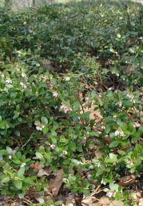 Group of flowering box huckleberries.