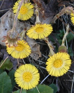 coltsfoot flower heads open and closed