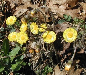 coltsfoot flower heads lifting up to the sun