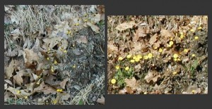 coltsfoot blooms open with the sunlight