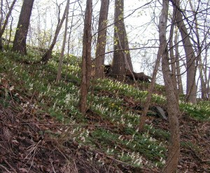 Dutchmen's breeches blooming on the hillside.