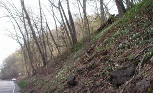 Dutchman's breeches blooming on a west-facing hillside.