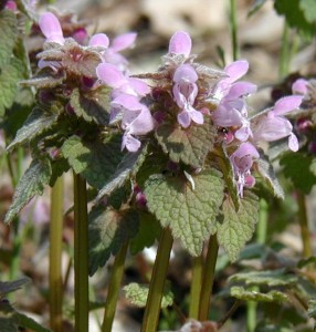Irregular flowers of purple dead nettle.