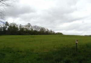 Farmer's field full of field peppergrass.