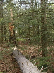 White pine toppled by wind gust.