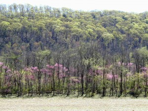 Redbud trees blooming at the woods edge.
