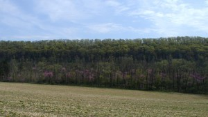 Redbuds flowering in Pennsylvania.