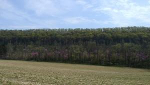 Redbuds flowering in Pennsylvania.