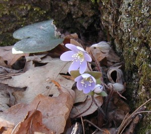 Round-lobed hepatica blooms open in the daylight.