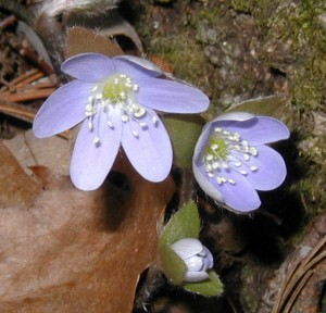 Close-up of round-lobed hepatica flowers opening in the daytime.