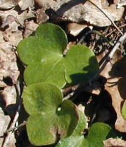 Upper leaf of this round-lobed hepatica is a four-lobed leaf.