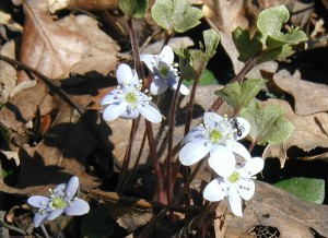 Round-lobed hepatica with ant on flower.