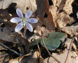 Hairs on leaf of round-lobed hepatica.