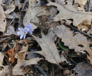 Round-lobed hepatica flowers with hiding leaf.