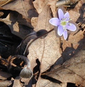 Round-lobed hepatica with maroon bracts.